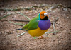 Gouldian Finch (Scottmh) Tags: 2017 australia gouldian nikon sanctuary victoria birds d7100 finch green healesville purple summer yellow