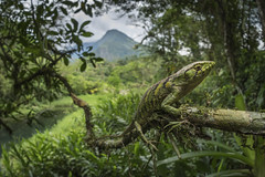 Polychrus marmoratus (sebastiandido) Tags: reptile lizard polychrus marmoratus colombia boyaca santa maria nikon d500 flash sigma 15mm lagarto fauna herpetology tropicalherping biology rainforest wideangle macro