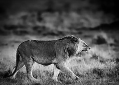 hear me roar (LincolnGHarris) Tags: whyilovekenya magicalkenya maasaimara lion lionheart cats savethelions bigcats lionpride conservation catsofworld bigcatweek nature animal wild natgeoyourshot yourshotphotographer d500 nikon nikonprofessional