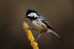 _F0A6214.jpg (Kico Lopez) Tags: carbonerogarrapinos galicia lugo miño parusater spain aves birds rio