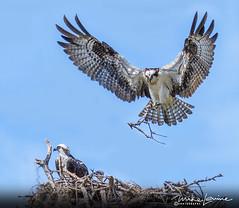 Nest Building (mikeyasp) Tags: ospreys birds inflight nests outdoors nature pandionhaliaetus evergladesnationalpark everglades