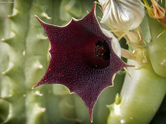 Huernia keniensis (Gabriel Paladino Photography) Tags: huernia keniensis magnoliophyta magnoliopsida gentianales apocynaceae asclepiadoideae ceropegieae stapeliinae planta suculenta flor flower stem succulent baqibaqa bloom colorful background africa gabrielpaladino stapelia plantae
