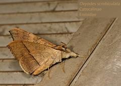 Oxyodes scrobiculata - ThaTon_20121015_22_03_02 (Jan F. Rasmussen - love comments but delete awards) Tags: thailand nikon southeastasia moth lepidoptera moths catocalinae 2012 d800 thaton erebidae noctuoidea oxyodes oxyodesscrobiculata erebiidae