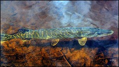 Pike (HJsfoto) Tags: fish pike fisk boden gdda
