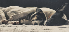 Tuesday Snooze (Jenningspony78) Tags: friends sleeping portrait dog cute love dogs nature puppy relax geotagged photography photo puppies asia nap afternoon cross sleep sony borneo processing cuddle snooze 365 pup dslr brunei a55 temburong bangar sonya55