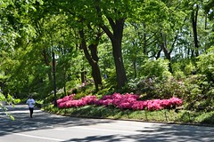 Rhodondendron Mile, 05.12.13 (gigi_nyc) Tags: nyc flowers nature spring centralpark turtlepond themall shakespearegarden thereservoir