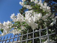 -- (cozzemetafisiche) Tags: blue sky white flower nature