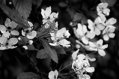 mono flowers (Dan:Brown) Tags: flowers bw virginia nikon nik lr4 d7000 silverefexpro2 18200mmf3556gafs