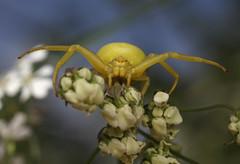 IMG_6215 Crab spider (tobyjug5) Tags: macro yellow thames spider arachnid ham mpe65 threatdisplay