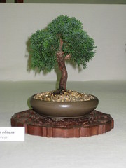 Hinoki cypress (Bonsaigirl) Tags: scotland display gardening bonsai caledonian 2013