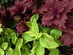 Itasca, IL, Westin Hotel, Coleus Plants (lalobamfw (thanks for 625K+ views)) Tags: red plants green nature leaves foliage coleus