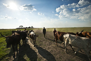 Farmers with their livestock, Mongu, Western Zambia. Photo by Felix Clay/Duckrabbit, 2012.