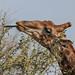 Giraffe in Réserve de Bandia - Sénégal