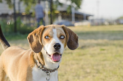 seriouly, those eyes are real. (jlehmann78) Tags: dog beagle puppy dogpark 60m desmoines 60mm28 60mmnikkor d7000