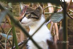 Hurgando (Leonel Gallard) Tags: naturaleza santafe nature argentina up animals closeup cat canon photography eos photo photographer close gato felino animales leonel avellaneda gallard 60d eos60d