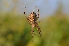 Neoscona adianta (esta_ahi) Tags: barcelona españa fauna spider spain araña arachnida penedès aranya araneidae neoscona adianta испания olesadebonesvalls neosconaadianta