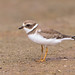 SemipalmatedPlover_65K5326_4x6 copy