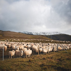 Sheep in heap [HCS] (yrrgeirs) Tags: iceland sheep hcs clichsaturday
