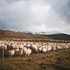 Sheep in heap [HCS] (yrrgeirs) Tags: iceland sheep hcs clichésaturday