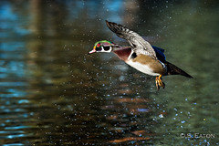 20131023 Sterne-172-Edit (Shepherd) Tags: lake geese pond wildlife flight ducks mallard littleton woodie ©seaton