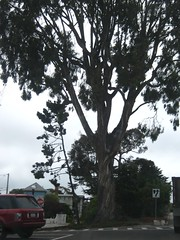 "Tree in Monterey • <a style=""font-size:0.8em;"" href=""http://www.flickr.com/photos/109120354@N07/11042999694/"" target=""_blank"">View on Flickr</a>"