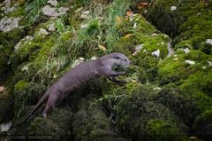 Otter / Nutria (Lutra lutra) (john_shackleton) Tags: espaa spain asturias otter nutria lutralutra