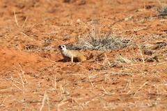 Meerkat (Suricata suricatta) (piazzi1969) Tags: mammals wildlife africa namibia bagatelle suricate meerkat suricatasuricatta afrika canon eos 7d erdmännchen