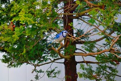(DigitalCanvas72) Tags: blue jay cardinal action wildlife birdfeeder sparrow birdsinflight wildbirds birdphotography nikkor55300mmvr nikond3100 natureoutdoorslandscapefallautomnautomn