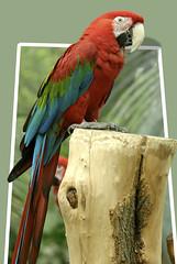 animal ) (evelyn_cassel) Tags: wildlife natuur parrot macaw pappagallo papagei loro ara papagaio arara papukaija macao perroquet papegaai vilt  vidaselvagem guacamayo    papouek wildtiere papegoja papuga  vidasalvaje  papagj     faunaselvatica zv  vadvilg  villielimet espcessauvages dzikaprzyroda arapapagj  sinikeltaara