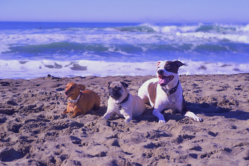 Handsome dog pack at the beach