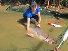 Handeling Mekong Giant Catfish
