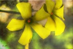 Fiori di acetosella (Laralucy) Tags: flowers flower macro verde texture nikon digitalart natura giallo fiori fiore elaborazione acetosella magicunicornmasterpiece blinkagain