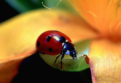 Ladybird on Aaron's beard (Jos Miguel Atienza) Tags: ladybird ladybug roseofsharon ladybeetle mariquita hypericumcalycinum coccinellaseptempunctata aaronsbeard creepingstjohnswort jerusalemstar mygearandme mygearandmepremium flickrstruereflection1 flickrsfinestimages1 flickrsfinestimages3