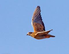 Flock Bronzewing (aaardvaark) Tags: australia qld phapshistrionica flockbronzewing 201311171d7826flockbronzewingfemale27x25