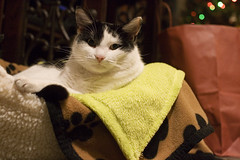 Woken (AAcerbo) Tags: sleeping cat bed paw feline nap kitty blanket napping paws awake asleep staring