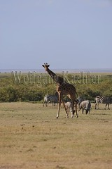 10070803 (wolfgangkaehler) Tags: africa kenya african wildlife giraffe wildebeest amboseli kenyan eastafrica eastafrican giraffacamelopardalistippelskirchi masaigiraffe burchellszebra wildebeests amboselinationalpark burchellszebras amboselikenya burchellszebraequusquagga amboselinatlparkkenya
