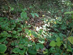 "Wild Ginger • <a style=""font-size:0.8em;"" href=""http://www.flickr.com/photos/92887964@N02/12599952414/"" target=""_blank"">View on Flickr</a>"