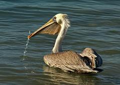 Pelican catch (Patty Bauchman) Tags: ocean bird nature fishing wildlife pelican