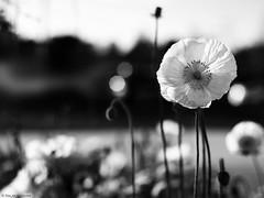 2014 spring poppy (salar hassani) Tags: leica blackandwhite bw white black 50mm spring sony poppy sum micron a76