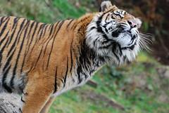 Malosi! (OnceAndFutureLaura) Tags: tiger sumatrantiger pdza pointdefiancezooandaquarium greenzoo malosi