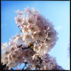 Exploding spring (eLeM-O) Tags: spring lente bloesem bloemen maart bloeien uploaded:by=flickrmobile flickriosapp:filter=nofilter