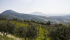 IMG_5879 (Il Moranda) Tags: sun nature wine hill natura vineyards sole vigne vino collina ulivi collieuganei