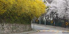 Korea_Inwangsan_Flowers_20140403_04 (KOREA.NET - Official page of the Republic of Korea) Tags: korea seoul jongno springflowers skyway   inwangsan      mtinwang springofseoul