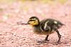 Duckling 1 (John P Norton) Tags: bird fauna duckling manual f56 ef400mmf56lusm focallength400mm 13200sec canoneos5dmarkiii copyright2014johnnorton