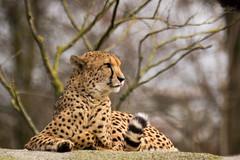 cheetah (Cloudtail the Snow Leopard) Tags: zoo basel tier animal säugetier mammal katze cat groskatze raubkatze big gepard cheetah acinonyx jubatus flickrbigcats cloudtailthesnowleopard