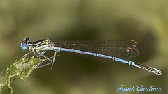 White-legged Damselfly (male) (Frank Gardiner) Tags: whiteleggeddamselfly platycnemispennipes damselfliesofthebritishisles