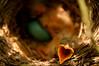 The hard life of a baby Robin (Alexander Brassard) Tags: life baby bird nature birds photography nikon nest outdoor wildlife robins adventure chicks d3200