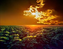Young sunflower field (Katarina 2353) Tags: sunset sunlight film nature field landscape photography photo spring europe image outdoor serbia paisaje x sunflower agriculture paysage vojvodina srbija beska katarinastefanovic katarina2353 serbiainspired