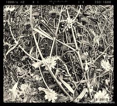 B&W Wildflowers,Summer,Groningen stad,the Netherlands,Europe (Aheroy(2Busy)) Tags: flowers bw flora zwartwit planten bloemen aheroy aheroyal
