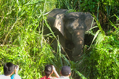 Uninvited dinner guests (ShaaronS.) Tags: wild people elephant tourists borneo sabah tooclose photoopportunity elephantgrass pygmyelephant kinabatanganriver